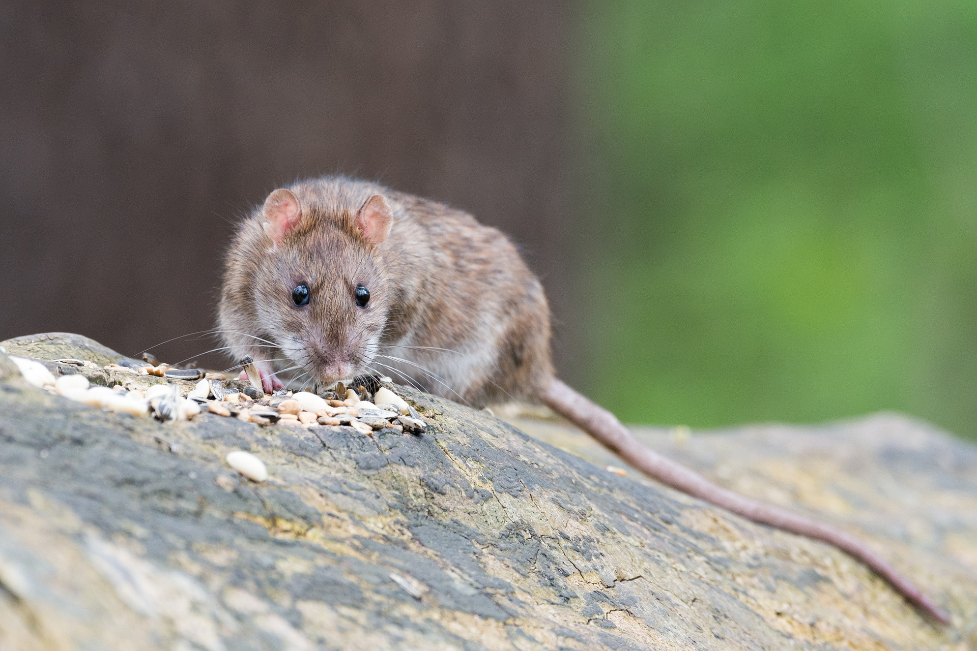 Read more about the article Pest Control NI – Rodents
