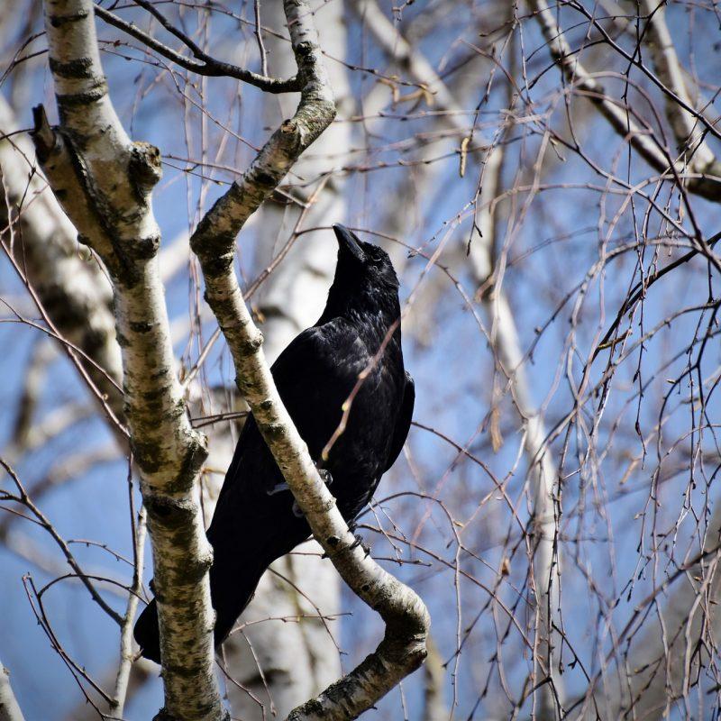 raven-4983014_1920